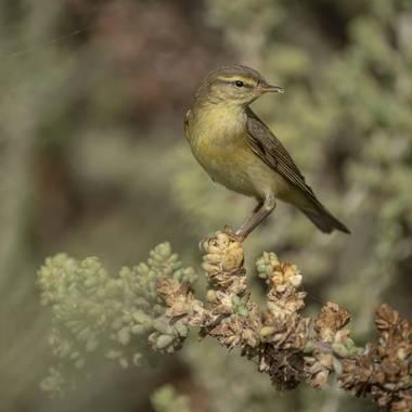 Aitor_gil en Hamelin: Fauna  (Teguise), Phylloscopus trochilus (Linnaeus, 1758), Su porte pequeño y comportamiento vivaz entre las copas de los árboles son...