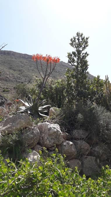 Solerantonio2 en Hamelin: Flora  (Níjar), Flores en la cala de san pedro