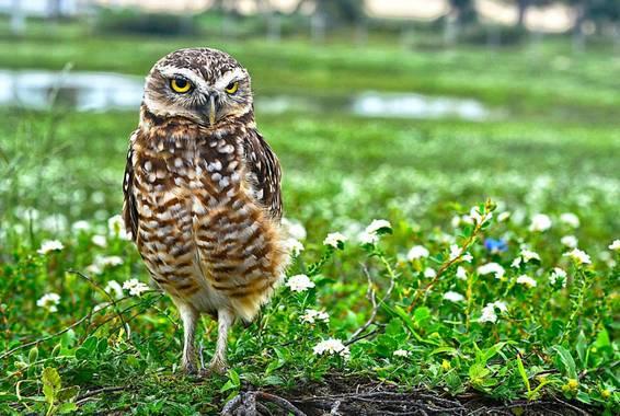 AnSilv en Hamelin: Fauna  (Jijoca de Jericoacoara), Athene cunicularia (Molina, 1782), #fauna #buho #brazil #jericoacoara #lechuzas #ave #naturaleza #natur...