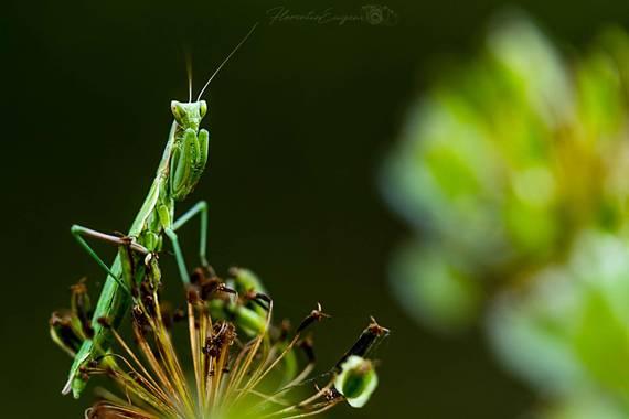 Florentinoeugenio en Hamelin: Fauna  (Rivas-Vaciamadrid), #mantis