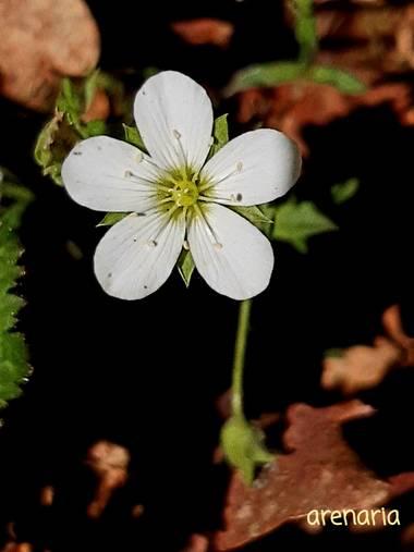 Mpinfante en Hamelin: Flora, Arenaria montana, .