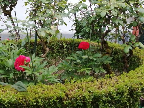 Susandresro en Hamelin: Flora  (Lugo), Paeonia officinalis, Peonia roja