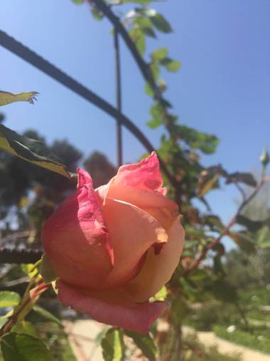 Marisol🍀 en Hamelin: Flora, Rosa chinensis, #rosa
