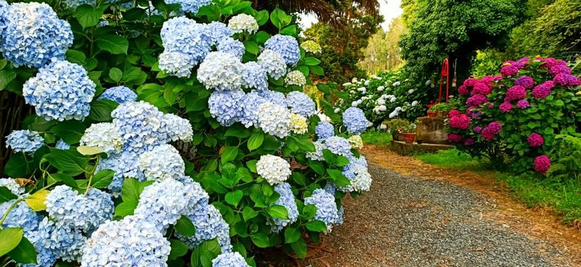 raquelarriola15 en Hamelin: Flora  (A Coruña), Jardín de hortensias de colores. Flor muy decorativa y espectacular es una flor que necesita de climas húmed...
