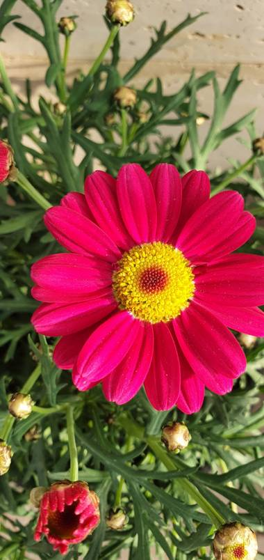 Nuriacifort en Hamelin: Flora  (Reus), Tanacetum coccineum, #floral