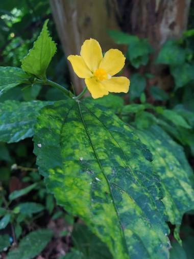 Zaynab en Hamelin: Flora, Pavonia spinifex, Delicada
