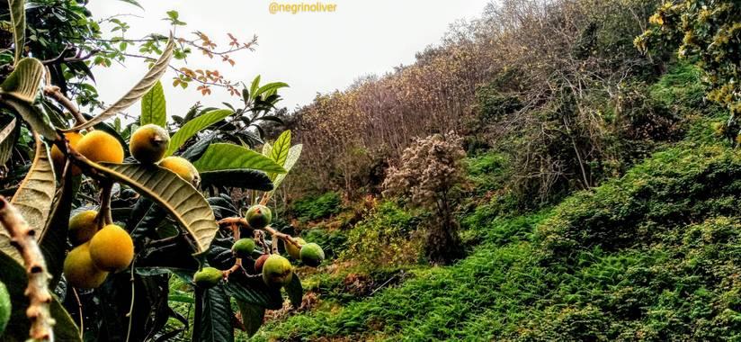 Óliver📷 en Hamelin: Flora, El níspero (Eriobotrya japonica) es un árbol frutal perteneciente a la familia de las rosáceas y procedente del Sudeste de Chi...