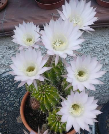 Anaortega2010 en Hamelin: Flora  (Las Rozas de Madrid), Echinopsis eyriesii, #cactusflor  #florcactus  #bellezanatural