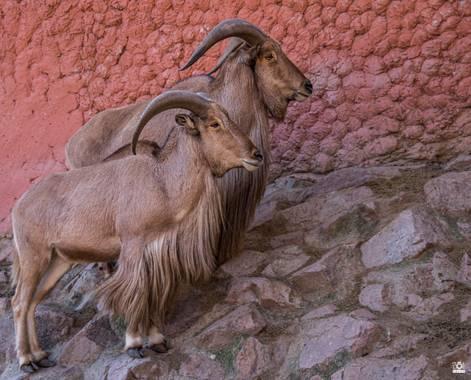 Acorazado3000 en Hamelin: Fauna  (Córdoba), Duo de carneros de berberia          #fotografiacarloscalvo #arrui #muflondelatlas #muflon #carnerodeberberia #...