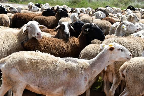 Karrete36 en Hamelin: Fauna  (Benicasim), Hay un rebaño de ovejas y cabras qué día sí y día no rodea mi casa ...es un momento divertido para mis niñas, qu...