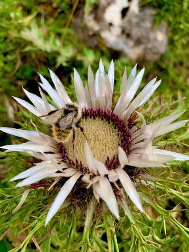Soniabetes en Hamelin: Flora  (Laruns), Carlina acaulis, #flora21