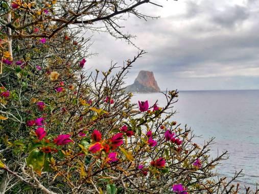 Miguel Beneyto en Hamelin: Flora  (Calp), Calp #calp #calpe #penyodifach #miguelbeneyto #alacant #alicante #peñondeifach #costablanca