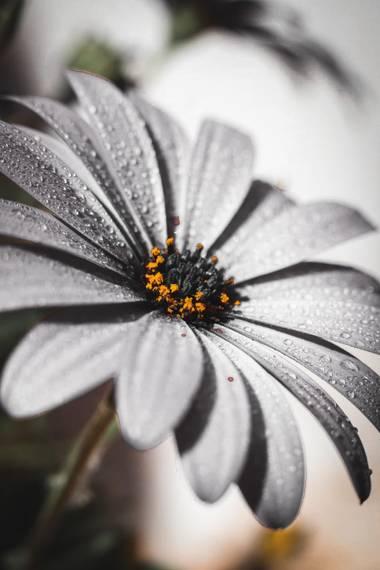 Inmacelma en Hamelin: Flora  (Burjassot), Osteospermum ecklonis, Bendita primavera💕  #Foto21
