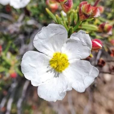 Helenbell33 en Hamelin: Flora  (Ribesalbes), Cistus monspeliensis, #flores #flora #castellon #naturaleza #naturaleza_comunidadvalenciana