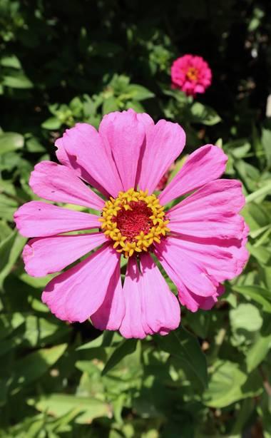 carogv1995 en Hamelin: Flora  (Hellín), Zinnia elegans, La flor más bonita del jardín!  🌸🌸🌸🌸🌸🌸🌸