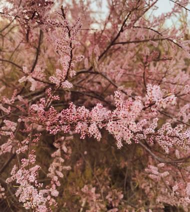A E S T H I N A en Hamelin: Flora, Tamarix parviflora, #flora21