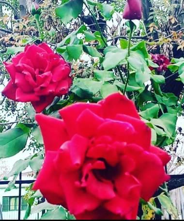GrachuV. en Hamelin: Flora, Rosa chinensis, Rosas...😘