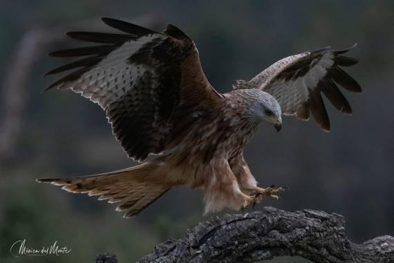 Mónica del Monte en Hamelin: Fauna  (Santa María de la Alameda), Milvus milvus (Linnaeus, 1758), #fauna #rapaces #milanoreal