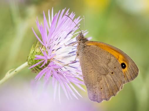 Antonio Jesús Palma Aranda en Hamelin: Fauna  (Lora del Río), Loba. Maniola jurtina.  Es una especie de insecto lepidóptero, en concreto de mariposas conoc...