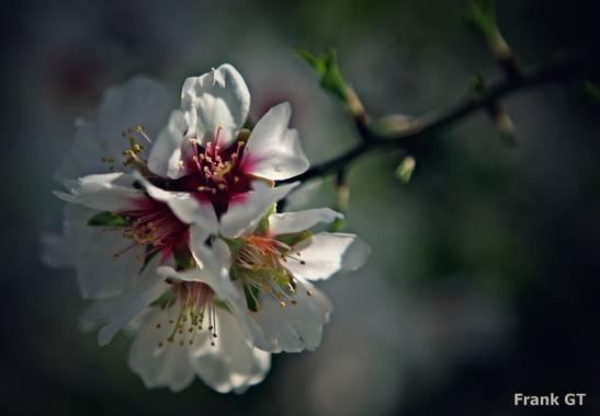 Frankgt48 en Hamelin: Flora  (Guadalix de la Sierra), Prunus dulcis, #flora21