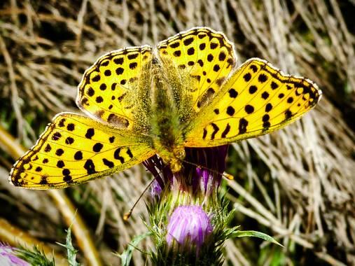 rqsalcedo en Hamelin: Fauna  (Madrid), #mariposa