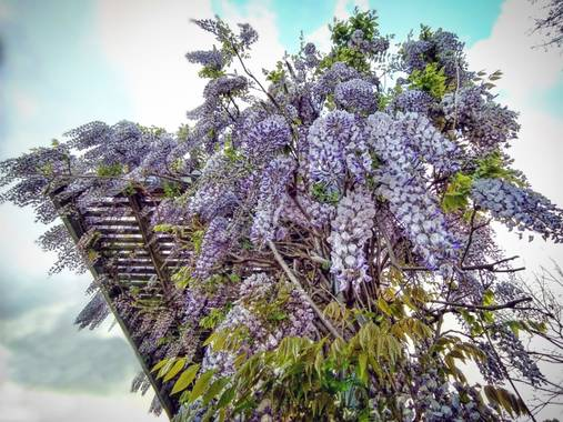 XᵢₓₐWₕᵢₜₑ en Hamelin: Flora  (Barakaldo), Glicina (Wisteria Sinensis) #Flora