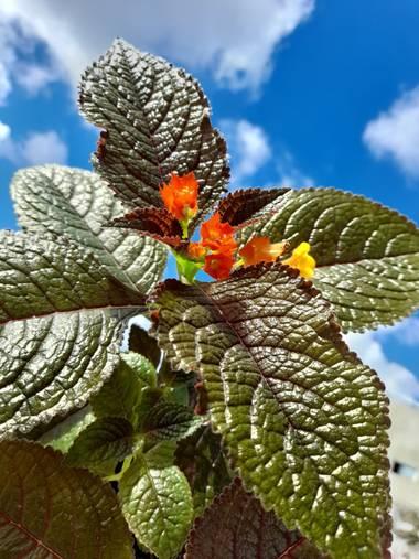 arellanaconny en Hamelin: Flora  (Villa Country), Chrysothemis pulchella, De mi Jardín #Hemilin #begonias #Barranquilla
