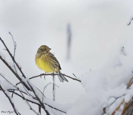 Fontpujolpere en Hamelin: Fauna  (La Vall d'en Bas), Emberiza citrinella Linnaeus, 1758, #invierno20