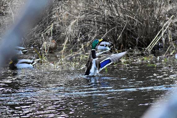RgLugo en Hamelin: Fauna  (Lugo), Anas platyrhynchos f. platyrhynchos, Anade Real disfrutando de su baño... ellos no tienen frío