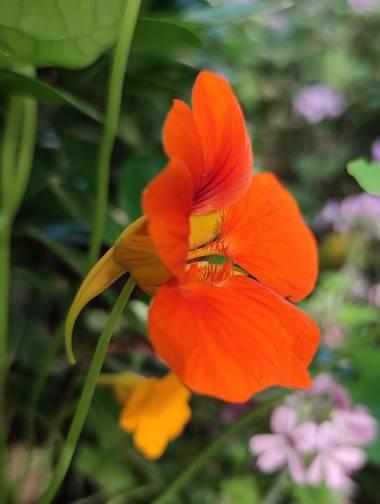 aidalzira en Hamelin: Flora  (Valencia), Tropaeolum majus, No he podido evitar fotografiarlas porqué estaban preciosas. #flora21  #flora