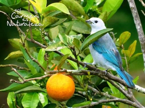 hugoturismo8 en Hamelin: Fauna  (El Carmen de Viboral), Azulejo fotografiado en zona rural de #ElCarmendeViboral por@hugo.tru