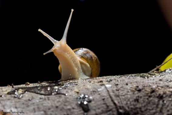 Florentinoeugenio en Hamelin: Fauna  (Vespella de Gaià), #caracol