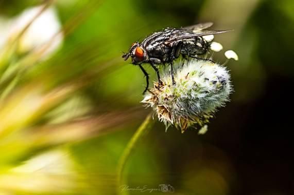 Florentinoeugenio en Hamelin: Fauna  (Coslada), #mosca