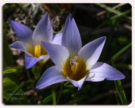 Manuropo39 en Hamelin: Flora  (Oleiros), Romulea bulbocodium, #Flora21