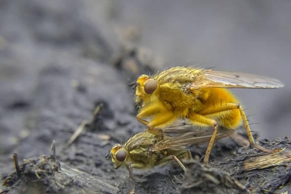 Eritz.cortazar en Hamelin: Fauna  (Bilbao), Scathophaga stercoraria (Linnaeus, 1758), Mosca amarilla del estiercol   Moscas del estiercol en su proceso d...