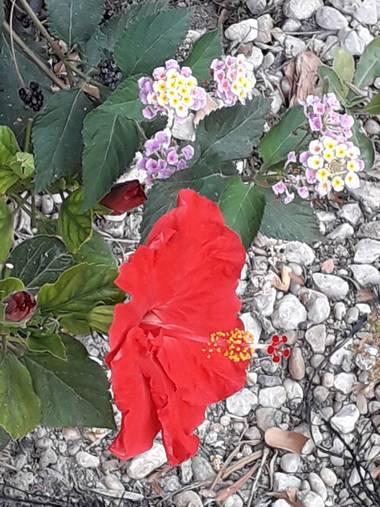 Solerantonio2 en Hamelin: Flora  (Almería), Rosa china con florecillas y capullitos al lado de mi parquecillo
