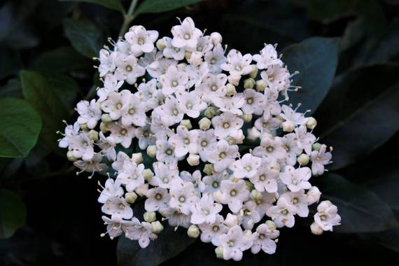 Jomacaes70 en Hamelin: Flora  (Santa Ana la Real), Viburnum tinus, #flora21