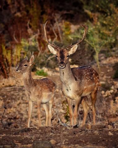 David Rubio en Hamelin: Fauna  (Castellar de la Frontera), Pareja de gamos (macho y hembra) fotografiados en finca La Almoraima (Castellar de la frontera) ...