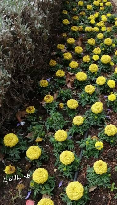 Loso.azu13 en Hamelin: Flora  (Almería), Tagetes erecta, #flora21