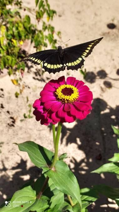lcattay en Hamelin: Fauna, Battus polydamas es una especie de lepidóptero ditrisio perteneciente a la familia Papilionidae que fue descrita originalmente ...