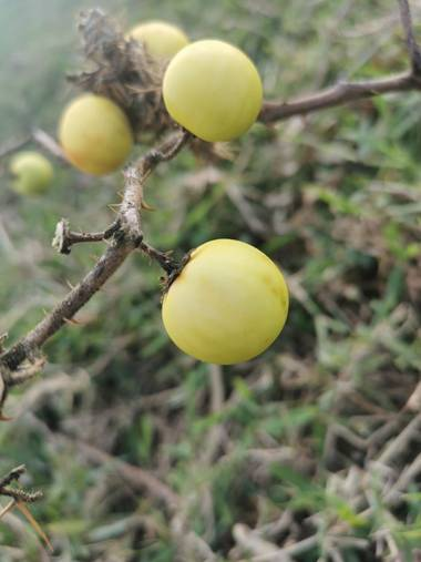 Gnesiszt en Hamelin: Flora, Solanum linnaeanum