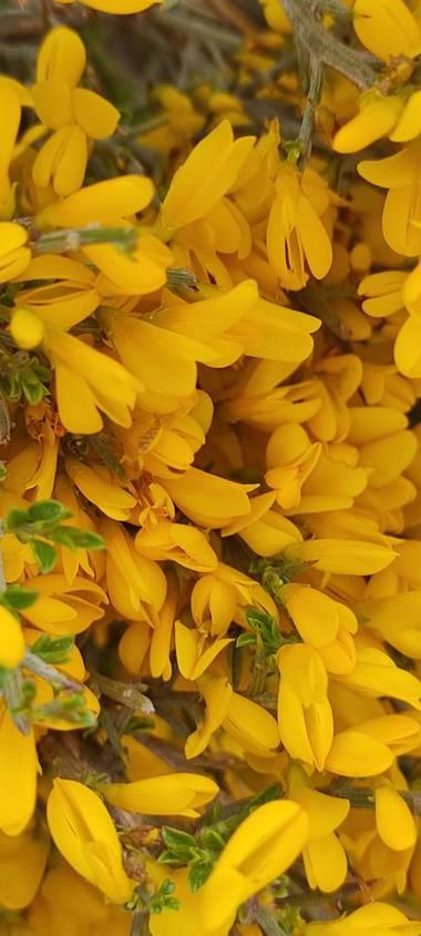 Elmaff en Hamelin: Flora, Ulex europaeus, #priamavera