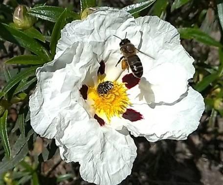 Martinboletin en Hamelin: Fauna  (Navalcán), Apis Mellifera recolectando polen de Jara.
