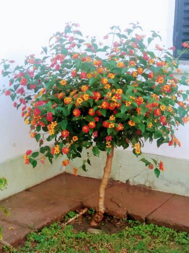 olgabijoux.ot en Hamelin: Flora  (Luján de Cuyo), Lantana camara