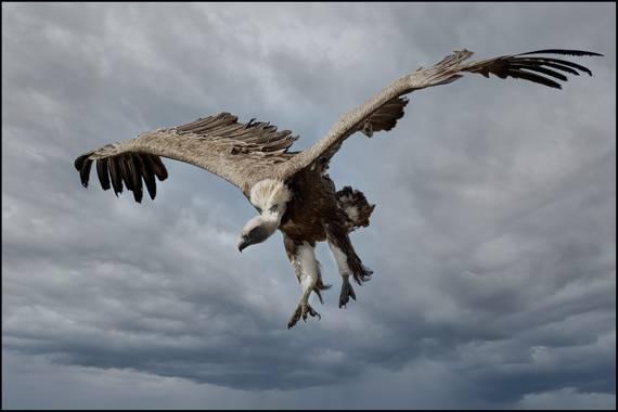 Salvapf en Hamelin: Fauna  (Berga), #buitres #buitreleonado #wildfotography