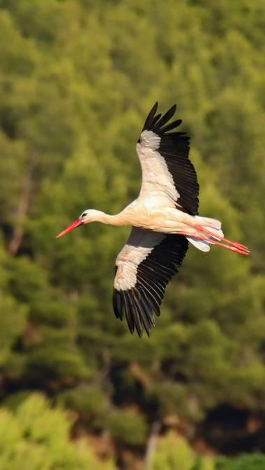 Rafael Alarcón Guerrero  en Hamelin: Fauna  (Alcalá de Henares), Ciconia ciconia (Linnaeus, 1758), #aves21 #cigüeña #canonm50 #birdlovers #birdwatching #ci...