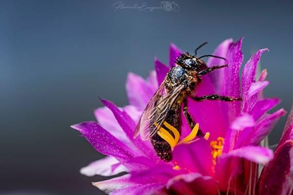 Florentinoeugenio en Hamelin: Flora  (Vespella de Gaià), #abeja