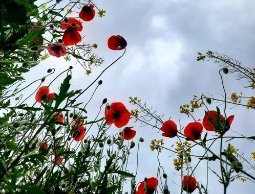 Ygermayn en Hamelin: Flora, Flor#flores#amapolas#campo#