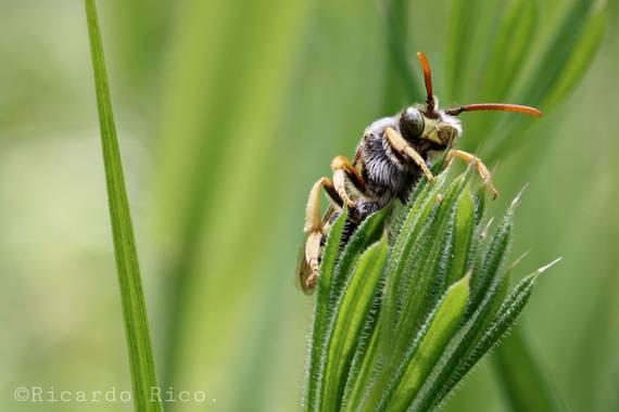 Rricoparrillas en Hamelin: Fauna  (Dosrius)
