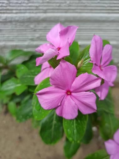 Marçe.Lateacher_López en Hamelin: Flora  (Tame), Catharanthus roseus, #floracolombiana  #hamelin21  #photooftheday